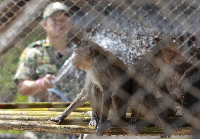A Thai wildlife department official sprays water at long-tailed macaques at the Pantainorasingh Non-Hunting Area Wildlife Conservation Division in Samut Sakhon province, on the outskirts of Bangkok, Thailand, September 21, 2015. (Photo by Chaiwat Subprasom/Reuters)