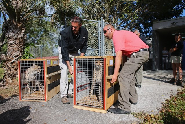 Zoo Miami's, Ron Magill, (L) and Willy Cotto unload two nine-month old Cheetahs as they arrive at a quarantine facility at Zoo Miami on November 29, 2012 in Miami, Florida.  The two sub-adult brothers who arrived today were captive-born on March 6th of this year at the Ann van Dyk Cheetah Centre just outside of Pretoria South Africa. The Cheetahs after being monitored and examined for a minimum of 30 days to insure that they are healthy and stable, will be featured in Zoo Miami's Wildlife Show at the newly constructed amphitheater and will continue the work of Zoo Miami's Cheetah Ambassador Program by making appearances off zoo grounds at a variety of venues including schools and civic organizations.  (Photo by Joe Raedle)