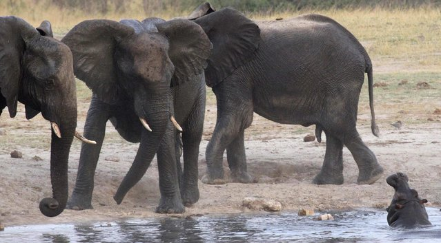 A herd of elephants confronts a hippopotamus at a watering hole in Hwange National Park October 14, 2014. The watering hole was one of several that were contaminated by poachers with cyanide in 2013, leading to the death of at least 100 animals, according to Zimbabwean authorities. Picture taken October 14, 2014. (Photo by Philimon Bulawayo/Reuters)