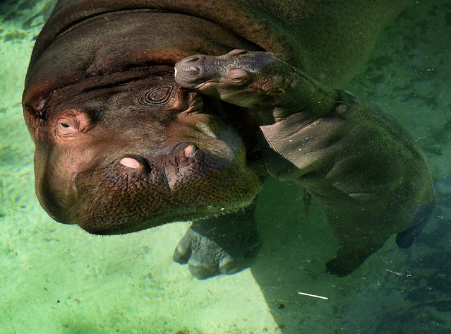 The Los Angeles Zoos female Hippopotamus named Mara stands beside her newborn calf (nameless at the moment) in their compound at the zoo in Los Angeles, California on November 4, 2014. (Photo by Mark Ralston/AFP Photo)