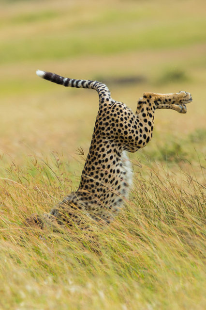 'Be different'.  A leopard appears to fall face forward into grass. (Photo by Mohammed Alnaser/Comedy Wildlife Photography Awards/Mercury Press)