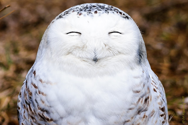 One very content snowy owl pictured by Edward Kopeschny for the Comedy Wildlife Photo Awards 2016, Ontario, Canada. (Photo by Edward Kopeschn/Barcroft Images/Comedy Wildlife Photo Awards)