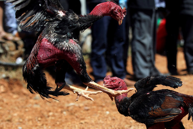Roosters fight during a local cockfighting event after Spring Festival holidays in Jinning, Yunnan province, China February 28, 2018. (Photo by Wong Campion/Reuters)