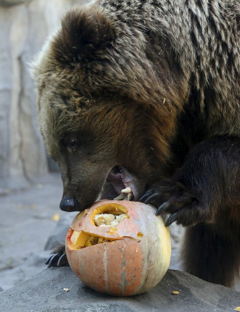 A bear eats a pumpkin during Halloween celebrations at a zoo in Kiev, Ukraine, October 30, 2015. (Photo by Valentyn Ogirenko/Reuters)