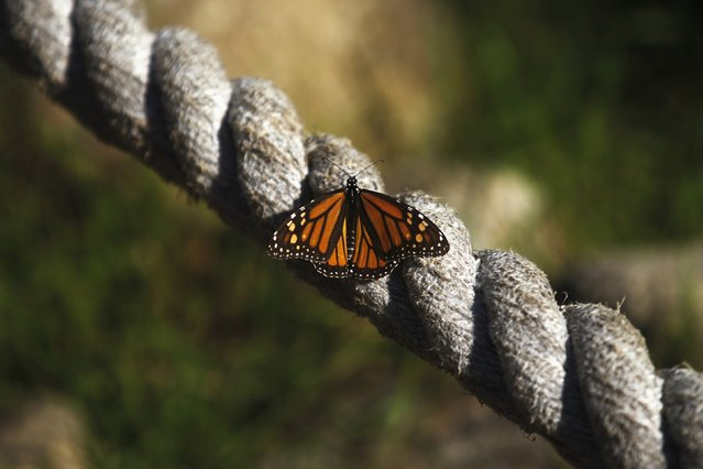 A monarch butterfly rests on a rope at the Monarch Grove Sanctuary in Pacific Grove, California, December 30, 2014. (Photo by Michael Fiala/Reuters)