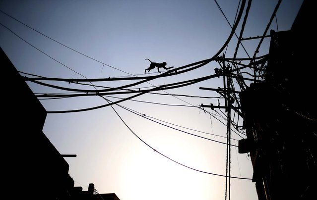 A monkey scrambles across electric wires to cross from one side of a busy road to the other in New Delhi, on May 13, 2013. (Photo by Saurabh Das/Associated Press)