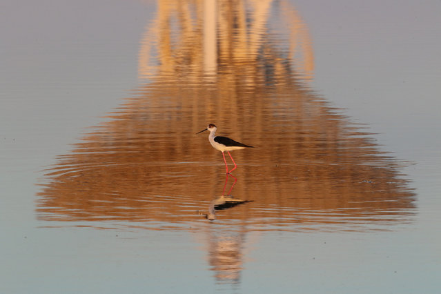 A black-winged stilt walks as the RT-70 radio telescope is reflected in the Galgasskoye lake near the village of Molochnoye, Crimea May 22, 2018. (Photo by Pavel Rebrov/Reuters)