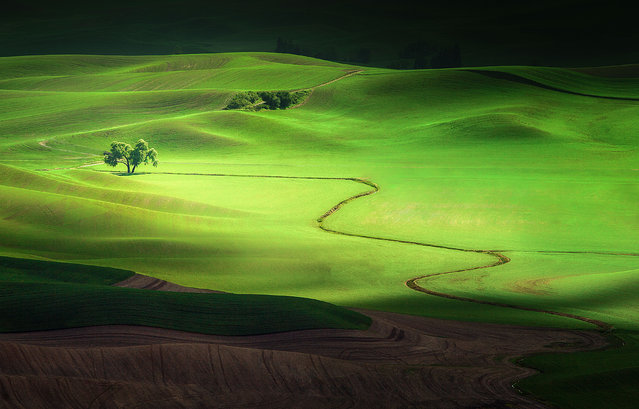 """Shadows and Light"". A lone tree in the Palouse region of Washington glows brilliantly in the sunlight as clouds pass by, isolating it in a band of light. Undulating hills provide depth to the lit scene, captured during the brief growing season where the wheat is a rich shade of green. Location: Colfax, Washington. (Photo and caption by Jesse Summers/National Geographic Traveler Photo Contest)"