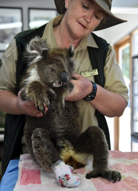 A female koala is assisted by Judy O'Brien at Jirrahlinga Koala and Wildlife Sanctuary at Barwon Heads, south of Melbourne, December 28, 2015. (Photo by Julian Smith/Reuters/AAP)