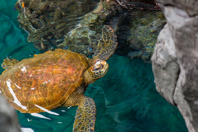Galapagos Green Sea Turtle. (Photo by Fred, Kathy, Christine & Kevin Kuhlman)