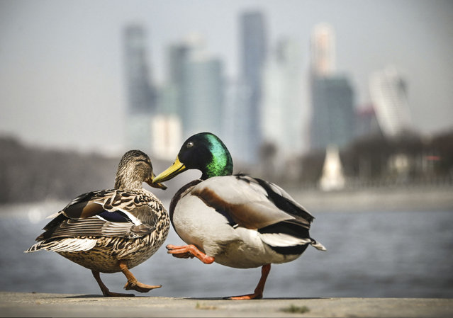 Ducks enjoy a warm spring day in front of the buildings of Moscow's International Business Centre (Moskva City) in Moscow on April 15, 2021. (Photo by Alexander Nemenov/AFP Photo)
