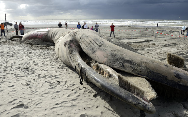 Viewers surround the carcass of a dead fin whale on the beach of Gravenzande, The Netherlands, on September 16, 2013. The six metre long whale was already dead when it stranded and was found on 15 September. (Photo by Lex Van Lieshout/AFP Photo)
