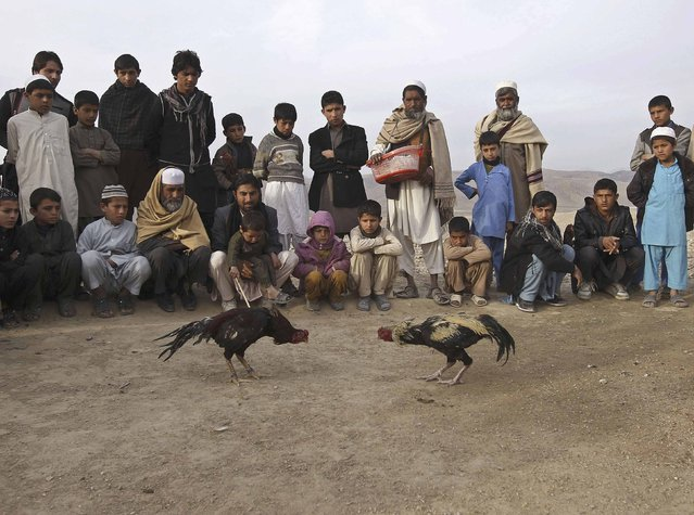 Afghans watch cock fighting on the outskirts of Jalalabad Province, February 6, 2015. (Photo by Reuters/Parwiz)