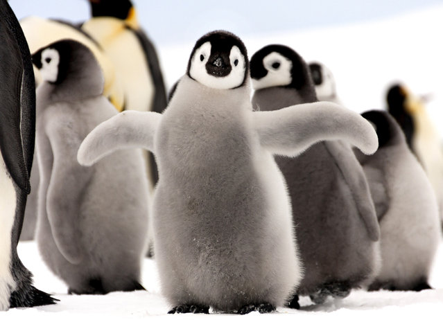 A baby Emperor penguin stands out from the crowd. (Photo by Dafna Ben Nun/Caters News)