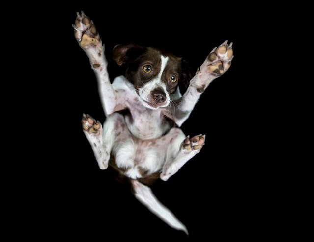A photograph of a dog taken from underneath on December 2016 in VA, Canada. (Photo by The Underdogs Project/Barcroft Images)