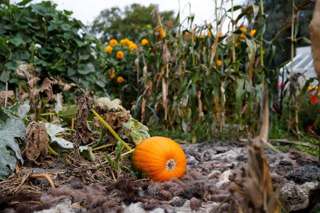 SWEDEN: A pumpkin grows at Rosendals Garden in Stockholm, Sweden, September 11, 2016. (Photo by Maxim Shemetov/Reuters)