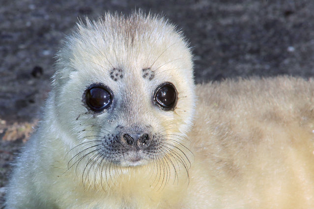 A ringed seal is taking a rest as it is enjoying the weather in its enclosure at the royal Burger zoo in Arnhem, Netherlands, 17 February 2016. (Photo by Vidiphoto/DPA via ZUMA Press)