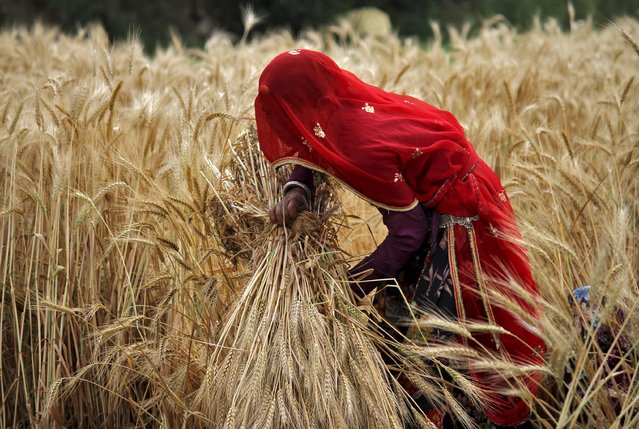 A veiled woman farmer harvests a wheat crop in a field on the outskirts of Ajmer in the desert Indian state of Rajasthan, April 4, 2015. India is the world's biggest wheat producer after China. (Photo by Himanshu Sharma/Reuters)