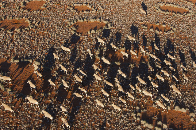 A herd of oryx cross the desert, in October, 2014, in the Namib Desert, Namibia. (Photo by Theo Allofs/Barcroft Media)