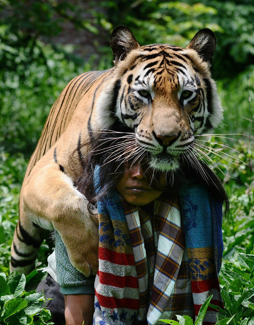 Mulan Jamilah, a 6-year-old Bengal tiger and Abdullah Sholeh, 33, play in the garden beside their home on January 20, 2014 in Malang, Indonesia. (Photo by Robertus Pudyanto/Getty Images)