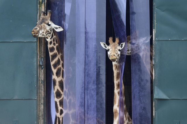Giraffes look out from their enclosure at Marwell Zoo near Winchester in Britain, March 18, 2016. (Photo by Toby Melville/Reuters)