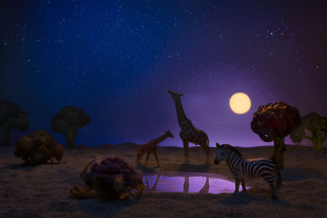 Giraffes and a zebra in a moonlight clearing surrounded by broccoli and cauliflower foliage. (Photo by Julia Wimmerlin/Caters News)