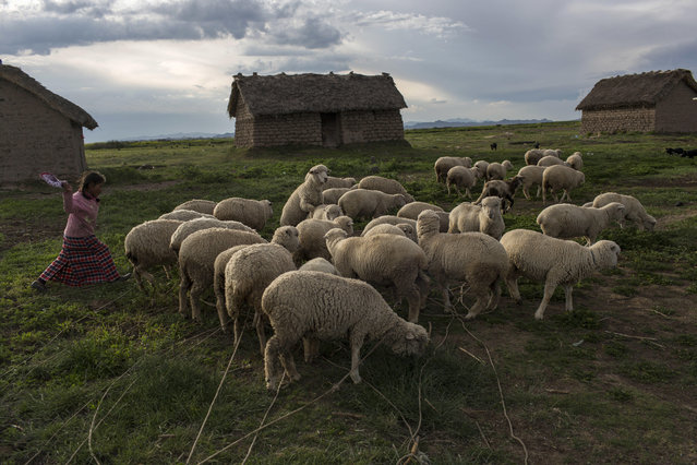 In this February 3, 2017 photo, Maria Avila moves her flock of sheep in Coata, a small village on the shores of Lake Titicaca in the Puno region of Peru. Avila, the mother of a 4-year-old living in an adobe house, says she cannot bathe or drink the lake's water without getting severe diarrhea or red spots on her skin. (Photo by Rodrigo Abd/AP Photo)