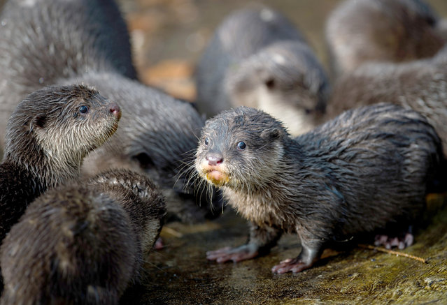Young Asian small-clawed otters explore their compound at the animal park in in Neumuenster, northern Germany, Wednesday, March 5, 2015. Six otter cubs were born at the animal park on December 7, 2013. (Photo by Maja Hitij/AP Photo/DPA)