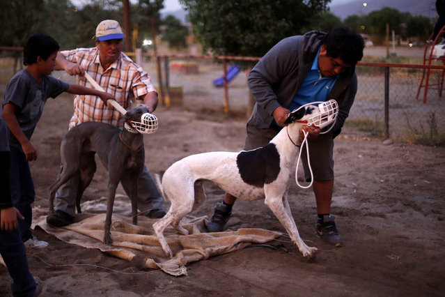 Trainers hold their greyhounds after a race at Santiago city, March 1, 2014. (Photo by Ivan Alvarado/Reuters)