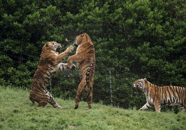 Tigers fight at a zoo in Yangzhou, Jiangsu province April 12, 2014. (Photo by Reuters/Stringer)