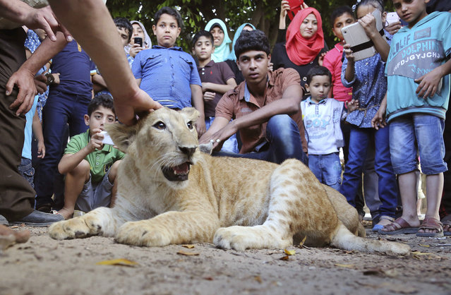In this Monday, June 15, 2015 photo, Palestinians gather around Mona, a female lion cub, while Ibrahim Al-Jamal, 17, her at the main garden in Gaza City, in the northern Gaza Strip. (Photo by Adel Hana/AP Photo)
