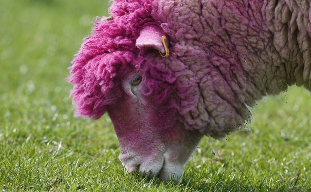 A sheep with dyed pink wool grazes in a field near the village of Balintoy April 24, 2014. It has been painted pink to welcome the arrival of the Giro d'Italia cycle race whose race leader wears a pink jersey. (Photo by Cathal McNaughton/Reuters)
