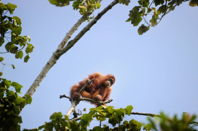 This picture taken on May 3, 2016 in Alue Bilie, in Tripa peat swamp area shows a five-year-old wildlife orangutan trapped and being rescued by Sumatran Orangutan Conservation Programme (SOCP) and Yayasan Ekosistem Lestari (YEL) in Aceh province.   The Orangutan is currently listed as critically Endangered by the IUCN (International Union for the Conservation of Nature and Natural Resources) with only about 6,000 Sumatran orangutans remaining. (Photo by Chaideer Mahyuddin/AFP Photo)