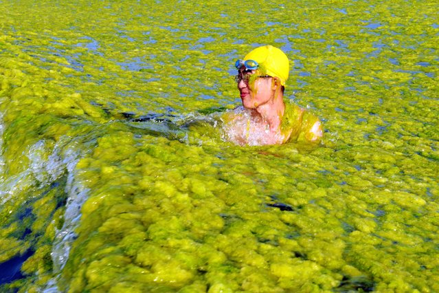 This picture taken on July 22, 2015 shows a man swimming amid algae at a beach in Qingdao, in eastern China's Shandong province. The algal phenomenon, an annual occurrence in Qingdao, is usually caused by an abundance of nutrients in the water, especially phosphorus, although the triggers for the enormous blooms which began to appear in the Yellow Sea in 2007 remain uncertain. (Photo by AFP Photo/Stringer)