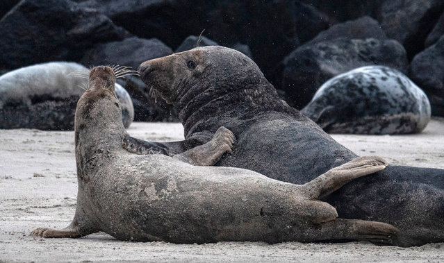 A female grey seal (front) and a male grey seal (back) react after engaging in sexual intercourse on the beach on the north Sea island of Helgoland, Germany, on January 5, 2020. (Photo by John MacDougall/AFP Photo)