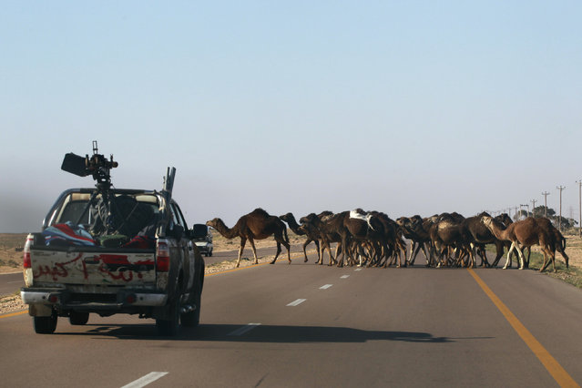 Camels cross a road as rebel fighters drive back on their vehicles from the frontline between Ajdabiyah and Benghazi April 11, 2011. (Photo by Youssef Boudlal/Reuters)