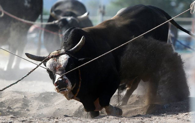 Emiratis control a bull prior to a fight in Fujairah on May 13, 2016. No matadors, blood, or betting when bulls lock horns in Fujairah's ring, but a winning beast might capture the hearts of traders and bring its owner a small fortune. While believed to have been passed down from 16th-century Portuguese conquerors, bullfights in the Gulf emirate are more similar to those which take place in parts of Asia, pitting two bulls against one another instead of a man against beast. (Photo by Marwan Naamani/AFP Photo)