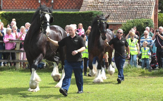 Barry Petherick walks Monty, the Wadworth brewery shire horses followed by Prince, as they are released into a field after being given a pint of beer outside the Raven Inn in Poulshot as he starts his two-week annual holiday on August 3, 2012 near Devizes, England. Hundreds of people gathered to watch as Monty, along with fellow dray horses Prince and Max - who are employed by Devizes brewery Wadworth to deliver beer 50 weeks a year to Wiltshire pubs - were each is given a pint of beer before being released into a field near Devizes. The brewery has been employing shire horses for more than 100 years to deliver beers to local inns and hostelries. Prince, Monty and Max are three of the last remaining working shires left in the UK brewing industry. (Photo by Matt Cardy)