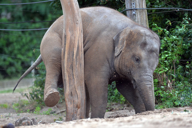 Three-year-old female elephant Ancharli scratches herself using a tree trunk in her enclosure at the zoo in Berlin, Germany, 09 July 2016. (Photo by Maurizio Gambarini/DPA via ZUMA Press)