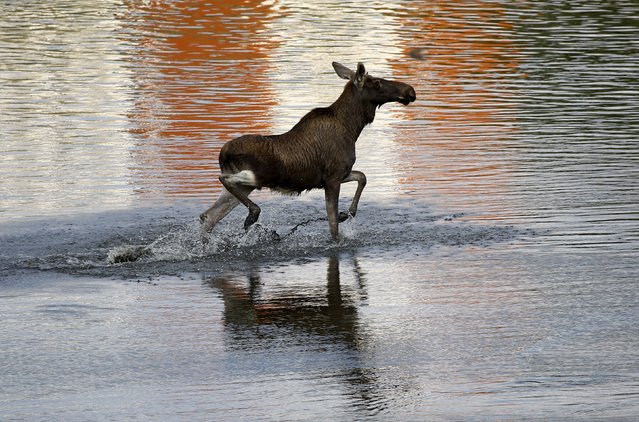 A moose wades in the Vistula river in central Warsaw, Poland August 26, 2015. Local residents reported finding the moose wandering the streets of Warsaw in the morning. (Photo by Kacper Pempel/Reuters)