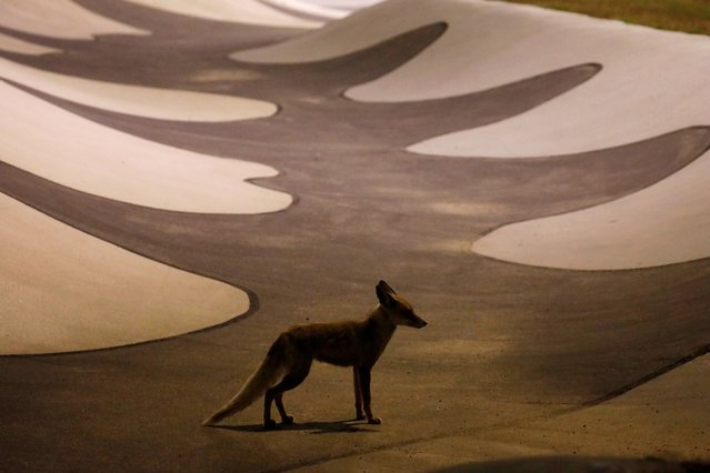 A red fox stands on an empty skate park in the southern Israeli city of Ashkelon, where predatory animals now roam amid the coronavirus disease (COVID-19) restrictions that have closed beaches and emptied sidewalks April 19, 2020. (Photo by Amir Cohen/Reuters)