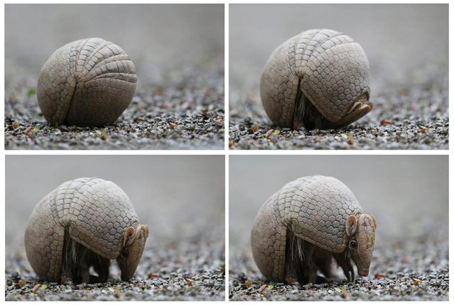 A three-banded armadillo unrolls itself from a ball at a zoo in Rio de Janeiro, Brazil on September 20, 2012. (Photo by Marcelo Sayao/EPA)