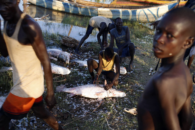 A Turkana man looks on as he hangs fish to dry at a fishing camp on the western shore of Lake Turkana, close to Todonyang, near the Kenya-Ethiopia border in northern Kenya September 24, 2014. (Photo by Goran Tomasevic/Reuters)
