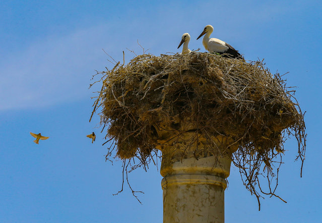 Storks building nest on top of ancient Byzantine column at Liman Street in front of the ancient theatre, are seen at Ephesus Ancient City, listed in the UNESCO's World Heritage List, in Izmir, Turkey on June 10, 2020. (Photo by Mehmet Emin Menguarslan/Anadolu Agency via Getty Images)