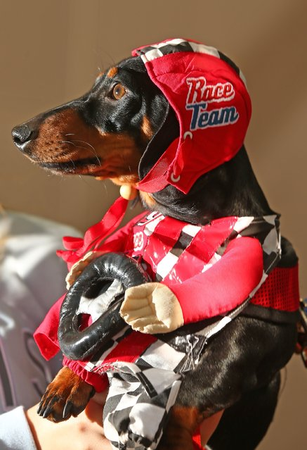 Cooper, dressed as a racing car driver competes in the Hophaus Southgate Inaugural Best Dressed Dachshund on September 19, 2015 in Melbourne, Australia. (Photo by Scott Barbour/Getty Images)