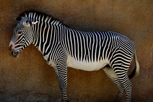 A Zebra stands in the shade at the Los Angeles Zoo as another heat wave hits Los Angeles on October 6, 2014.  The zoo, located beside Los Angeles' Griffith Park, is home to 1,100 animals from around the world. (Photo by Mark Ralston/AFP Photo)