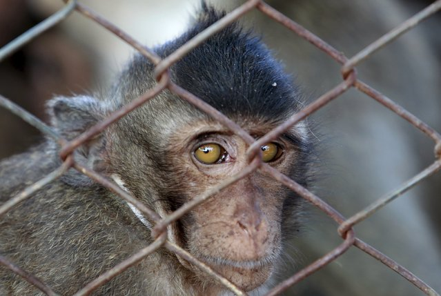 A long-tailed macaque is seen in a cage at a village in Bangkok, Thailand, September 21, 2015. (Photo by Chaiwat Subprasom/Reuters)