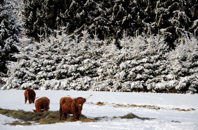 Angus cows graze in a field in the French village of La Petite Pierre on December 17, 2010. (Photo by Frederick Florin/AFP Photo)
