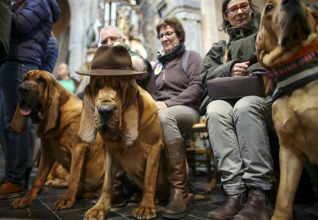 A dog waits to be blessed on celebration the day of Saint Hubert at the Basilica of St Hubert, Belgium, November 3, 2014. Annually held on November 3 in commemoration of Saint Hubert, the patron saint of hunters, a mass is held after which animals are blessed.  (Photo by Olivier Hoslet/EPA)