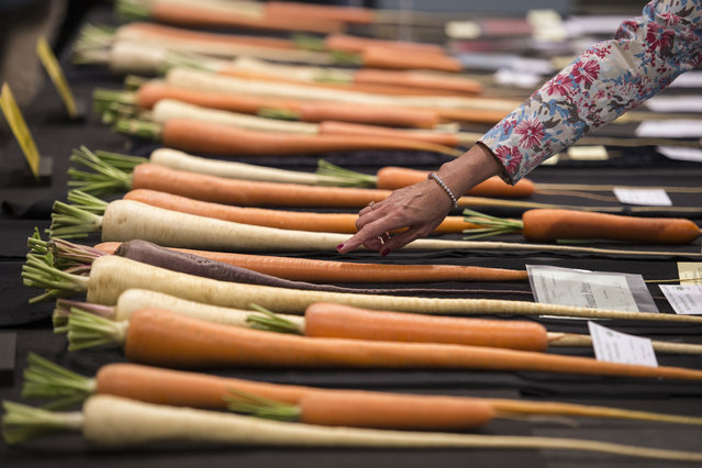 Members of the public admire vegetables on display on the first day of the Harrogate Autumn Flower Show held at the Great Yorkshire Showground, in Harrogate, northern England, on September 16, 2016. The show is set to run from September 16-18. (Photo by Oli Scarff/AFP Photo)